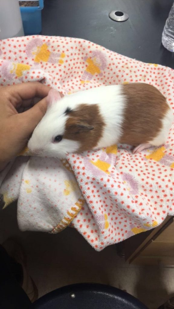 Kirby+the+guinea+pig%3A+proving+class+pets+belong+in+high+school%2C+too